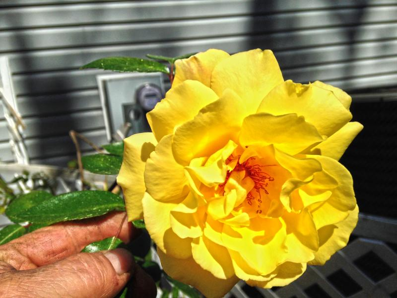 The Yellow Roses of Lake George - s.jpg